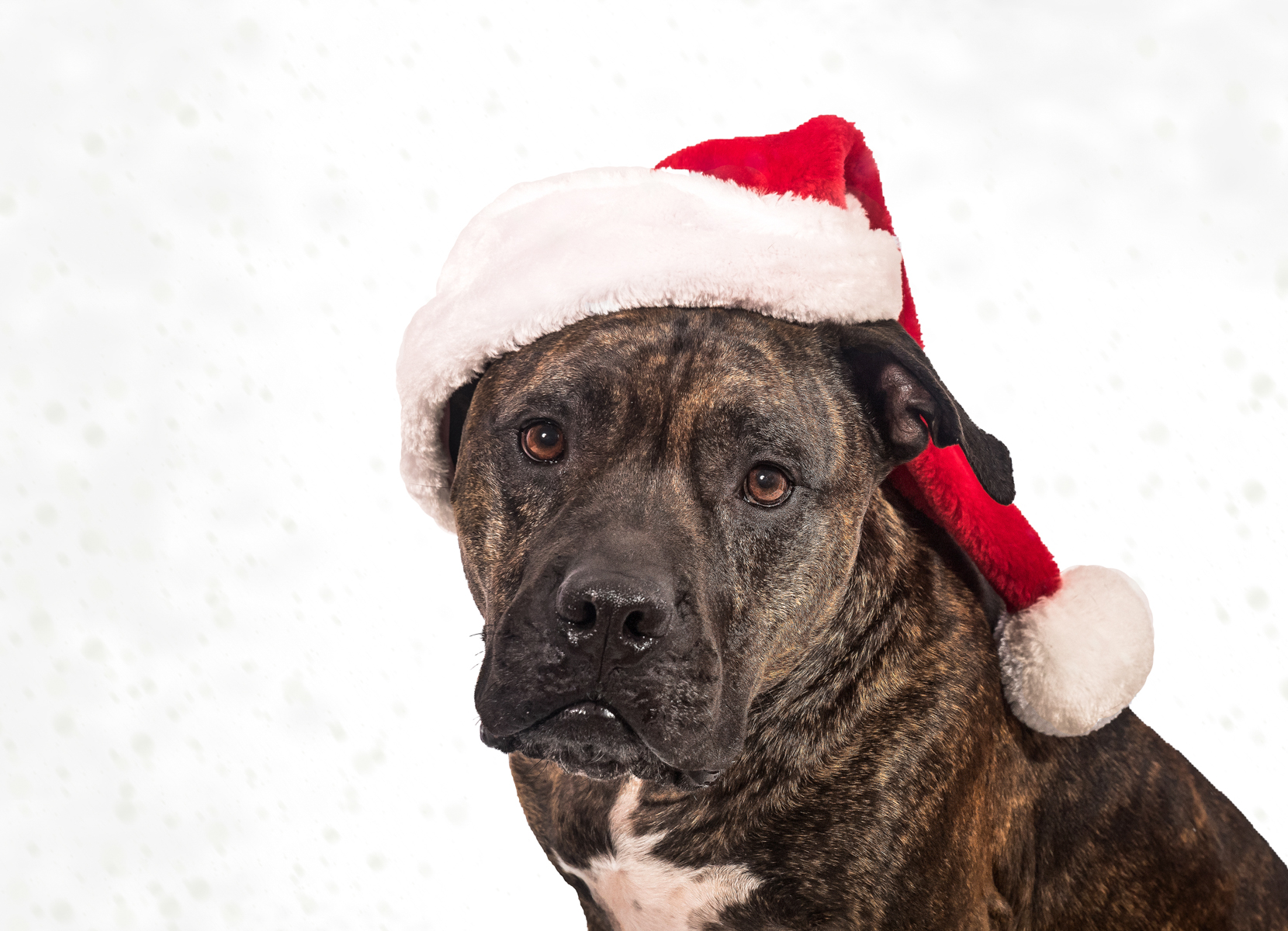 Christmas Pet Portraits Vasi Studio